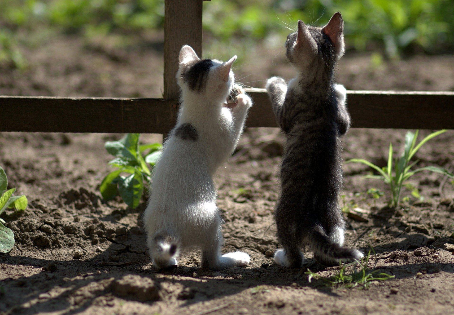 Dos gatitos escucan (miran escondidos)